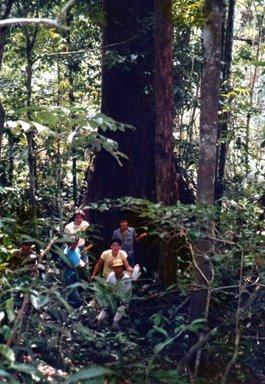 アマゾン源流域の森林内の大木.jpg