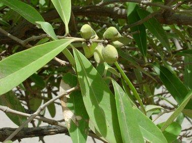 アヴィセニアの種子。ソラマメ.jpg