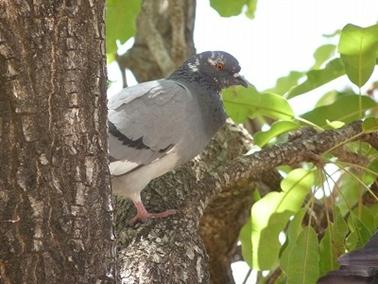 ウラテンガ村でシアバター(カリテ)の木に留まるハト.jpg