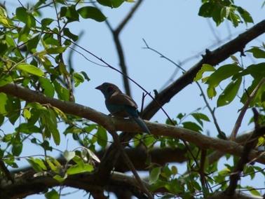 カジョー村で葉をくわえていた鳥と同じ種類の鳥.jpg