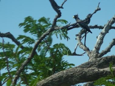 カジョー村で見た嘴が黄色の鳥.jpg