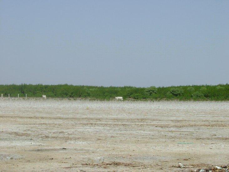 タン地帯とマングローブ.jpg