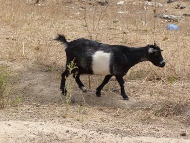 ニャナ村のヤギ。ヤギは短い尻尾が立つ.jpg