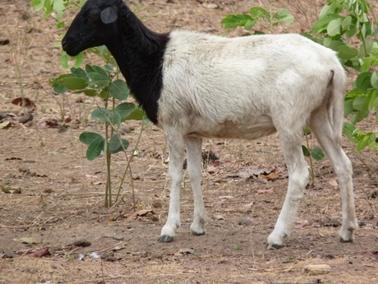 ブグッソー村の頭部が黒いヒツジ。ヒツジの尻尾は長く垂れる.jpg