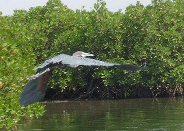 マングローブ林地帯を飛ぶ翼竜のような巨大なサギ.jpg