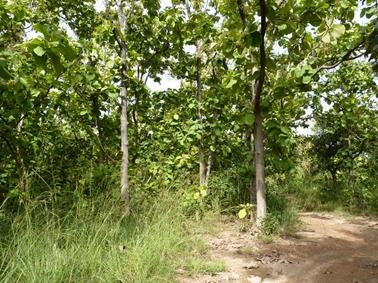 一部チークの植林地があるが成長は悪い。.jpg