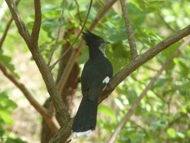 冠のついたトリがいた。尾と羽根の先が白い.jpg