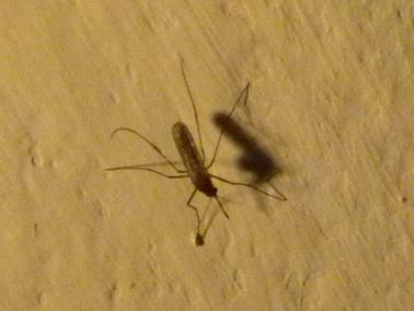 家の中の蚊.jpg