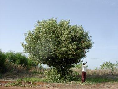 母樹(種子を採取).jpg