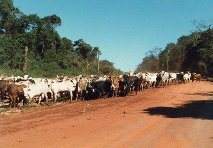 牛の行進.jpg