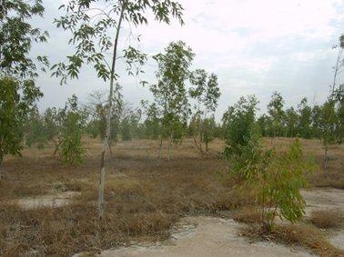 白い土からタンの土地に植林.jpg