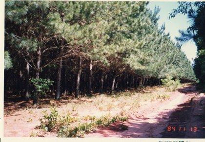 近隣のエリオッティマツ造林地.jpg