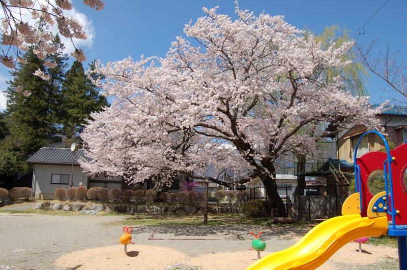 20160411_sakura2.jpg