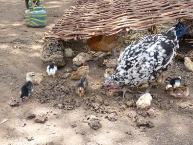かわいいヒヨコと母鶏。カジョー村.jpg