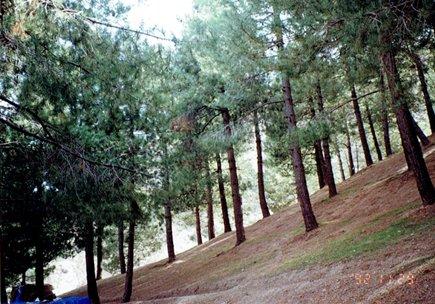 アレッポマツの人工林.jpg