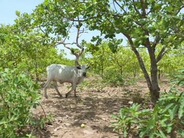 カジョー村のカシューナッツ林を歩く牛.jpg