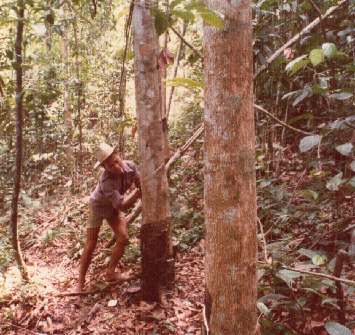 ゴムの木の幹への溝掘り.jpg