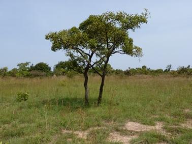 シアバターの木がわずかに残るブヌナ指定林.jpg