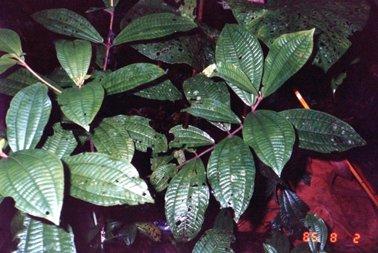 ノボタン科の低木(三主脈がはっきりわかる).jpg
