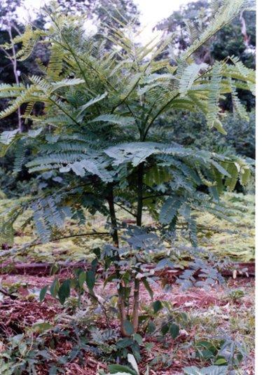 マメ科の木が多い.jpg