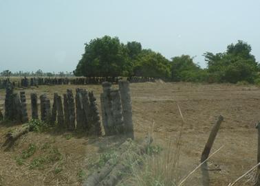 ヤシの木の杭を壁にして風食から畑を護る.jpg