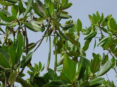 リゾフォーラの種子 同上.jpg