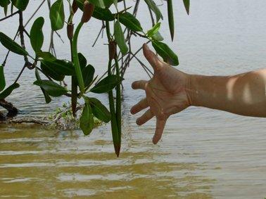 リゾフォーラの種子.jpg