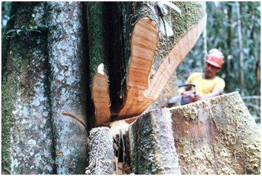 大木を伐るパスクワル(大木になると板根が発達する).jpg