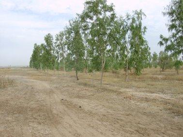 整然と植林されたユーカリ.jpg