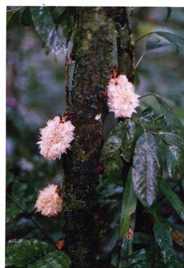 木の幹から直接花が咲く幹生花.jpg