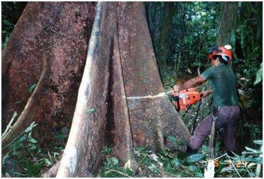 板根を一つずつ伐っていって木を倒す.jpg