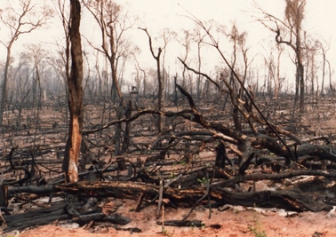 森林を燃やした後の光景。まるで森林の墓場。.jpg