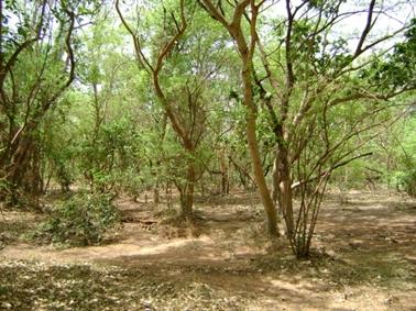 樹木の密度の低いトゥムセニ指定林.jpg