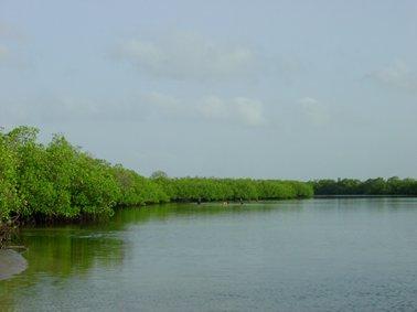 樹高4?5mのマングローブ林.jpg