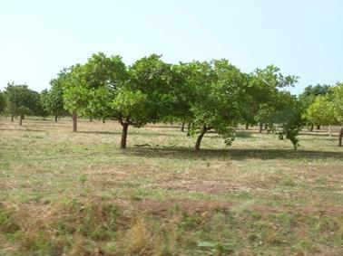 途中のカシューナッツの植栽地.jpg