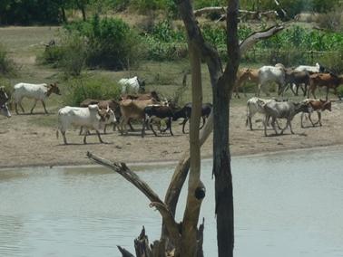 途中の溜池の沿いを歩く牛達.jpg