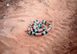 道路上にいたサンゴヘビ.jpg
